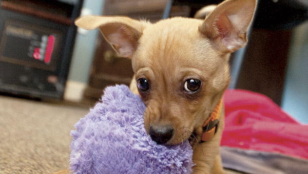 Eight-week-old Tango, a dachshund/Chihuahua mix, is content playing with his chew toy. Tango was rescued by Good Samaritans after being tossed from a moving vehicle Monday.