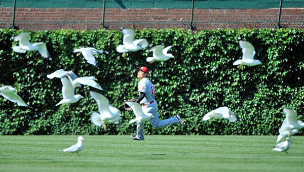 Cincinnati Reds' centerfielder Shin-Soo Choo chases down a fly ball off the bat of Chicago's Welington Castillo in the eighth inning on Thursday amidst a flock of birds. The Reds lost 6-5 in 14 innings. (Photo Courtesy of The Cincinnati Reds)