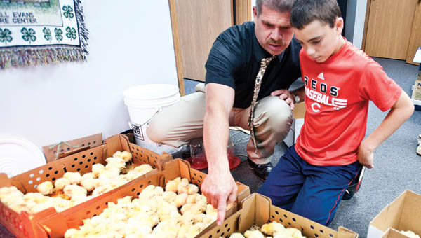 Mike Patterson shows his son, Eli, how to pick up chicks as they select 30 for members of their 4-H club Friday in the extension office at the Lawrence County Courthouse.