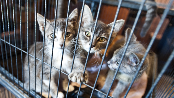 Felines wait for adoption at the cat shelter at the Lawrence County Animal Shelter.